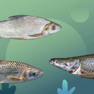 Particularmente en el campo del uso sostenible de los recursos hidrobiológicos, como la pesca sostenible, el manejo de especies invasoras, el manejo ambiental en sistemas de acuicultura, el manejo integral de subproductos de los recursos naturales, etc.